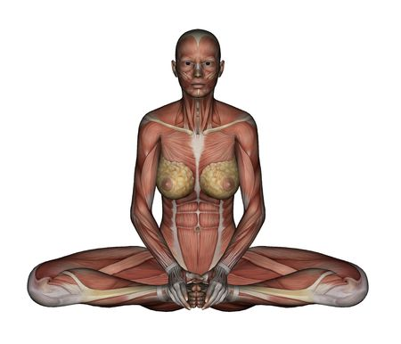 muscular anatomy: Yoga - Bound Angle Pose. Female Muscles - Front View