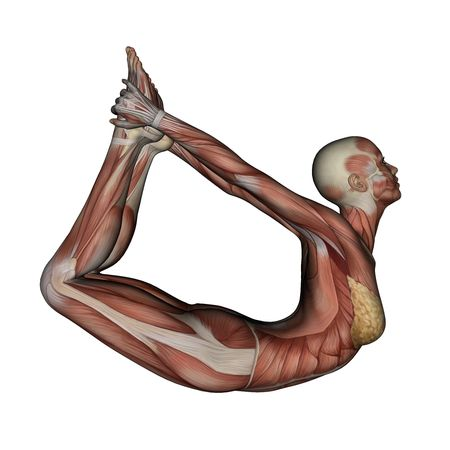 anatomy muscles: Yoga - Bow Pose. Female Muscles - Side View