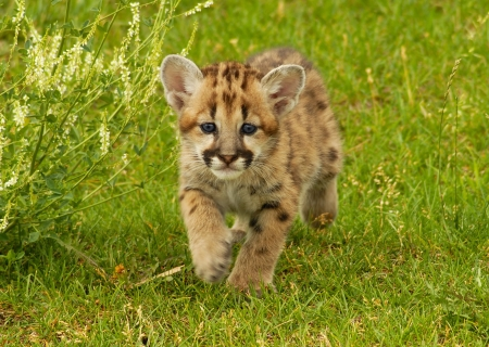 snow leopard Stockfoto