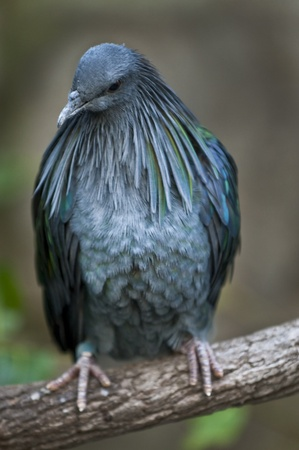 Close-up shot of a Victoria Crowned Pigeon photo