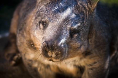 wombat: Wombat australiano mirando directamente a la c�mara