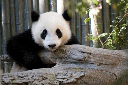 One cute young Panda Bear looking directly into the camera.