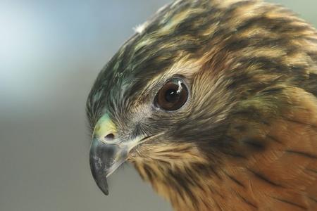 mago merlin: El Merlin (Falco columbarius) es un peque�o halc�n del hemisferio norte Foto de archivo