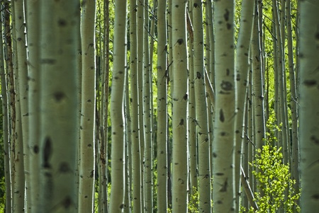 birch bark: Aspen tree pattern in Aspen Colorado Stock Photo