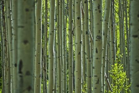 Patron de peuplier � Aspen Colorado