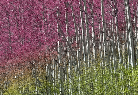 Colorful Aspen Trees in Aspen Colorado photo