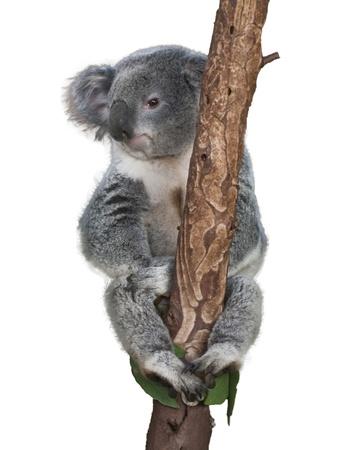 coala: Oso Koala