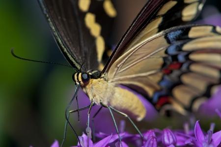 Tiger Swallowtail Butterfly feeding on a purple flower photo