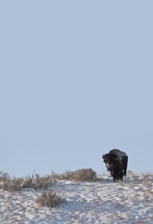 Buffalo in Theodore Roosevelt National Park photo