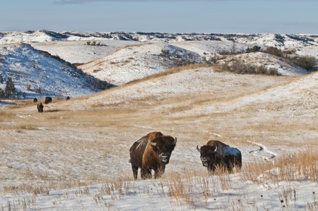 bison: Buffalo in Theodore Roosevelt National Park