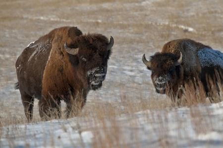 Buffalo in Theodore Roosevelt National Park photo