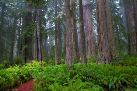 national scenic trail: Huge Ferns in foggy  Redwood National Park