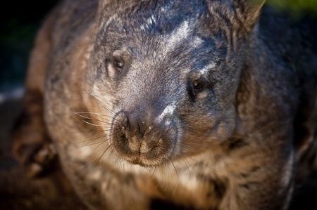 wilsons promontory: Australian Wombat looking directly into the camera Stock Photo