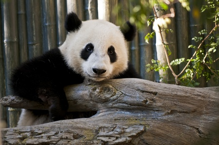 Cute Young Panda Bear looking directly into the camera