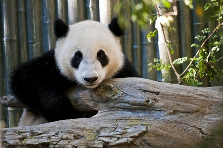 Cute Young Panda Bear looking directly into the camera photo