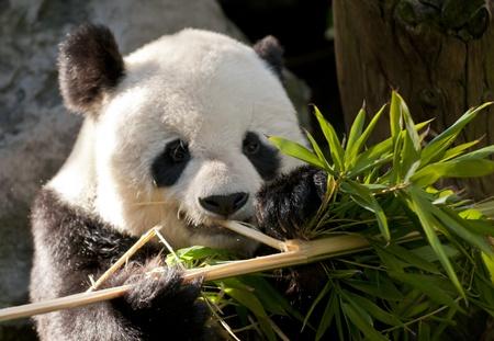 Gulligt barn Panda Bear tittar direkt in i kameran Stockfoto