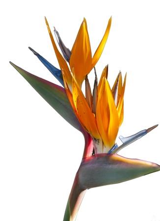 bloom bird of paradise: Bird Of Paradise Flower isolated over white background