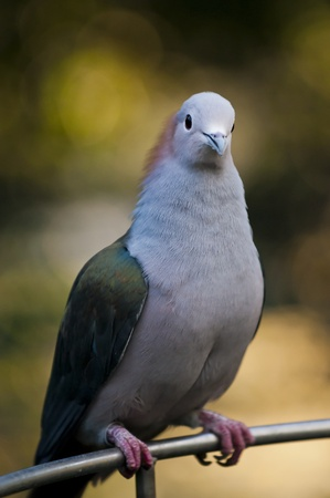 single pigeon looking into the camera