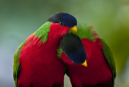 squawk: Two little birds in the love game Stock Photo
