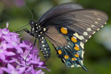 butterfly tail: Swallowtail Butterfly feeding on purple flower Stock Photo