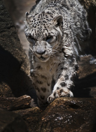 Snow Leopard Climbing down the rocky terrain. Stock Photo - 10467088
