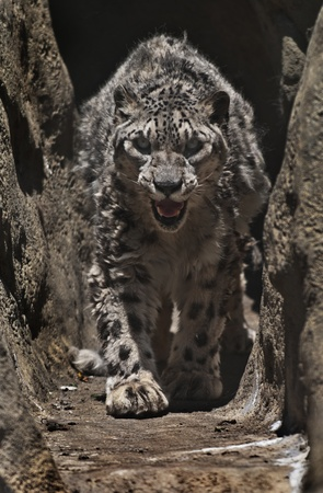 huge: Snow leopard in his cave protecting his territory Stock Photo