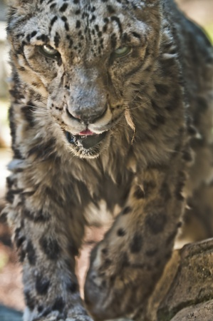Close-up shot of a snow leopard. photo
