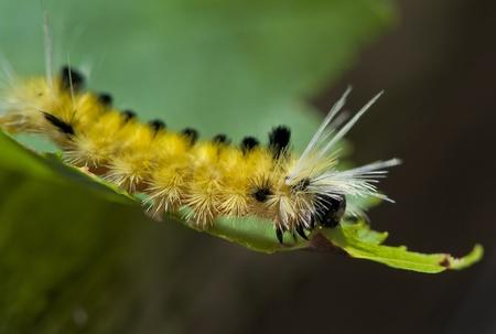 fuzz: Yellow Fuzzy Caterpillar eating maple leaf close-up shot