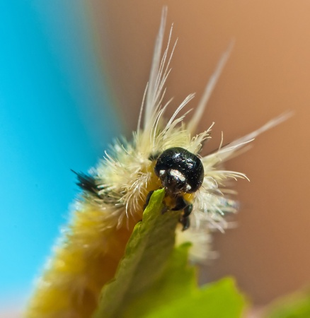 butterfly knife: Yellow Fuzzy Caterpillar eating maple leaf close-up shot