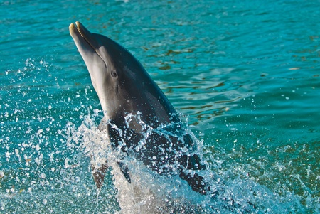 Happy dolphin performin its act. photo