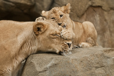 Little Lion Cub covering her mothers eyes with its paw Stock Photo