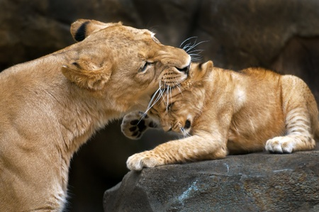 Lioness mother gently biting her cub photo