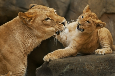 Little lion cub playing with her mother Фото со стока