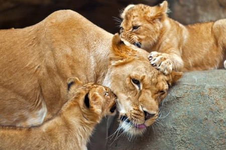 Two little lion cubs playing with their mother. Stock Photo