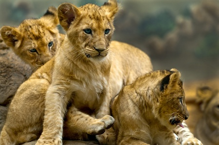 lion cub: Three little lion cubs siblings sitting on the rock