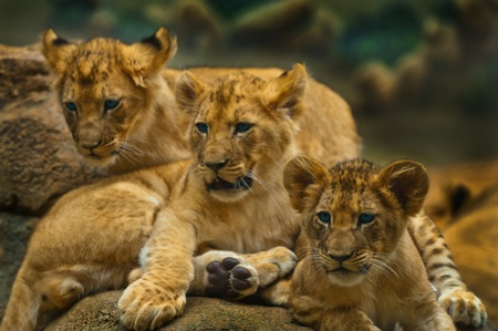 Lion Cub sibling sitting together looking away from the camera photo