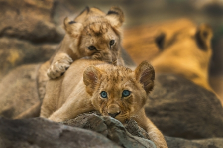 Two little lion Cubs syblings playing with each other photo