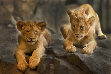 Two five month old Lion Cubs sitting on the rock. photo