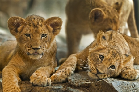 Three little Lion Cubs siblings resting after playing. photo