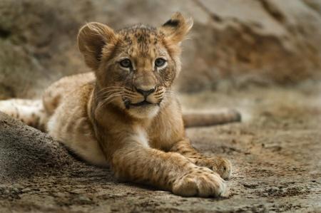 lion baby: Cinque mesi Cub vecchio leone che pone sulla terra guardando nella telecamera Archivio Fotografico