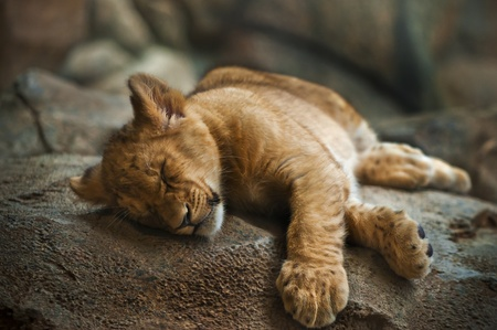 five month old: Five month old lion cub sleeping on the rock.