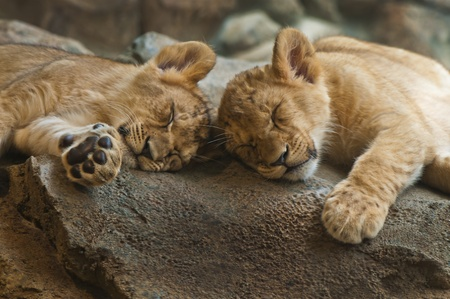 Two five month old lion cubs sleeping next to each other photo