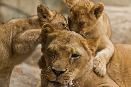 Two cute lion cubs playing with theri mother photo