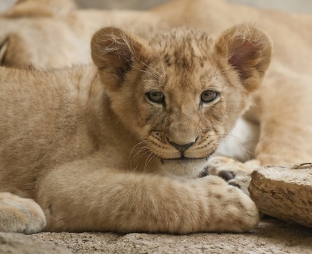 five month old: Five month old lion cub looking into the camera