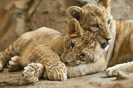 Two little lion cub sibling lying together photo