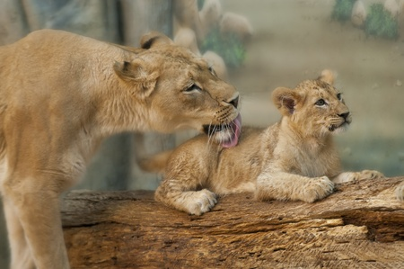 lioness: Adult Lioness licking her little cubs back