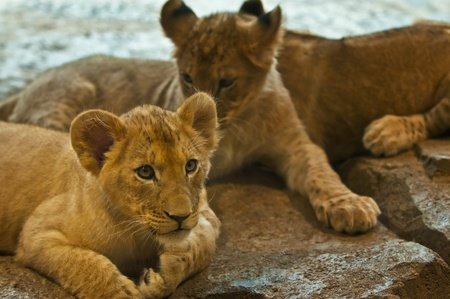 Three four month old lions lying on the rocks photo