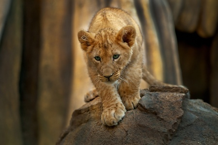 lion cub: Four month old crouching lion looking at his prey