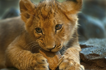 Four Month old Lioness playing with small piece of wood photo