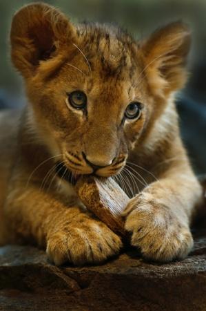 Fyra månader gammal Lioness leker med liten träbit Stockfoto